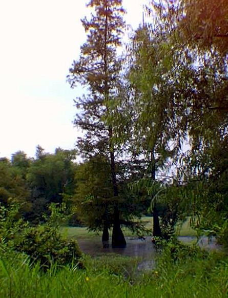 Swampy area with large Cypress